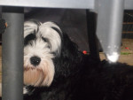 Fankie - Terrier tibétain (2 ans)