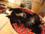 Polly - Terrier tibétain (2 ans)