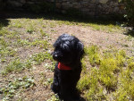 Tootsie - Terrier tibétain (11 ans)