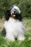 Terrier du Tibet portrait : Eschowman - Terrier tibétain