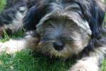 Isho - Terrier du Tibet - Terrier tibétain