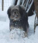 Isho, photo terrier du tibet - Terrier tibétain