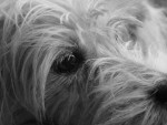 Shyva 7 ans, terrier du tibet - Terrier tibétain (7 ans)