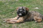 Etan, Terrier du Tibet de 7 mois - Terrier tibétain (7 mois)