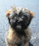 Etan 7 mois - Terrier tibétain (7 mois)