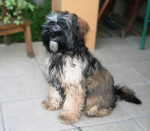 Etan Terrier du Tibet 7 mois - Terrier tibétain (7 mois)