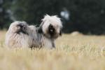 Chien Le magnifique Iboubou de la Vallée Céleste - Terrier tibétain  (0 mois)