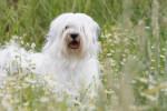 Chien La jolie Féa de la Vallée Céleste - Terrier tibétain  (0 mois)
