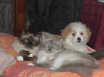 Chien Kaminouz et ses complices, sacrés de Birmanie - Terrier tibétain  (0 mois)