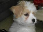 Kaminouz petite Terrier Tibétaine de 4 mois - Terrier tibétain (4 mois)