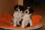 Deux adorables chiots Terriers du Tibet - Terrier tibétain