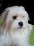 Chien Kaminouz a maintenant 2 ans - Terrier tibétain  (2 ans)