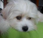 Chien Beau portrait de Kaminouz - Terrier tibétain  (0 mois)