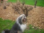 bandy - Terrier tibétain Mâle (10 ans)