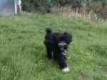 jely - Terrier tibétain (6 mois)