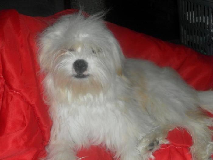 Kaminouz a 9 mois - Terrier tibétain (9 mois)