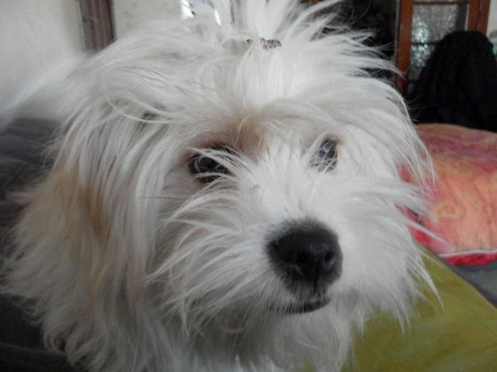 Portrait Kaminouz Terrier du Tibet a 9 mois - Terrier tibétain (9 mois)