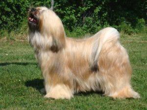 Sassy - Terrier tibétain (2 ans)