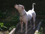 Chhaya - Dogue argentin (2 ans)