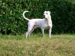kaiser - Dogue argentin Mâle (8 ans)