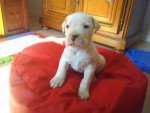 linda - Dogue argentin (1 mois)