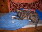 akira croisée rott dogue argentin - Dogue argentin