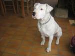 Dogue argentin , Spike - Dogue argentin