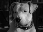 Spike dogue argentin - Dogue argentin