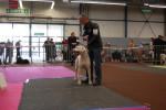 DOGO ARGENTINO - Dogue argentin