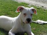 dock :dogue argentin a 6 mois - Dogue argentin (6 mois)
