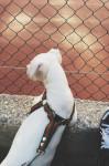 Gémeaux - Dogue argentin (1 an)