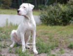Chien Demon, 8 mois - Dogue argentin  (8 mois)