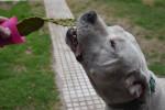 Chien Branco y el cactus xD - Dogue argentin Mâle (7 ans)