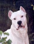 White Démon - Dogue argentin (4 ans et demi)