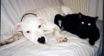 Chat et chien - Dogue argentin