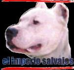 Dogo - Dogue argentin