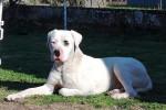 Narco - Dogue argentin Mâle (2 ans)