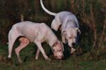 Abril et Blanco - Dogue argentin (3 ans)