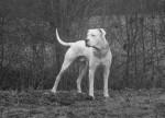Blanco - Dogue argentin Mâle (3 ans)