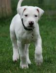 baxtere - Dogue argentin Mâle (2 mois)