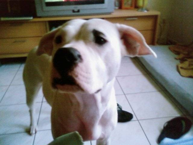 Dogue Argentin Nickie - Dogue argentin