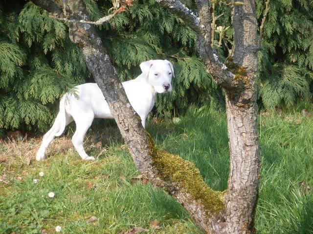 kingston dogue-argentin - Dogue argentin