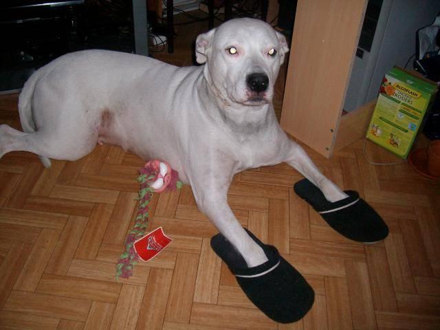 KAYA, DOGUE ARGENTIN - Dogue argentin