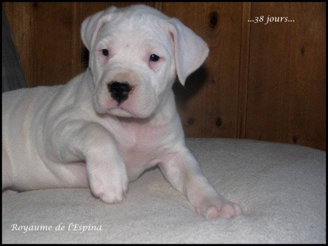 Fiona dogue argentin - Dogue argentin