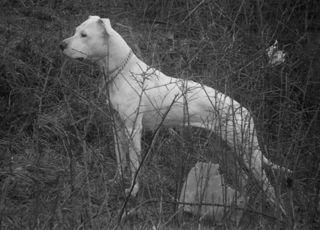 Abril - Dogue argentin (3 ans)
