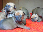 Chiots - Imperial Tosa Kennel - Tosa Inu