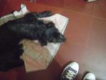 Ay mi chiquitita!! - Welsh Terrier (11 mois)