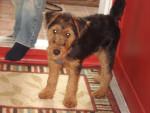 Chien Welsh Terrier - Mia - Welsh Terrier  (Vient de naître)