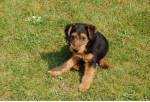 Chien clovis - Welsh Terrier Mâle (4 ans)