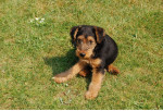 clovis - Welsh Terrier Mâle (4 ans)